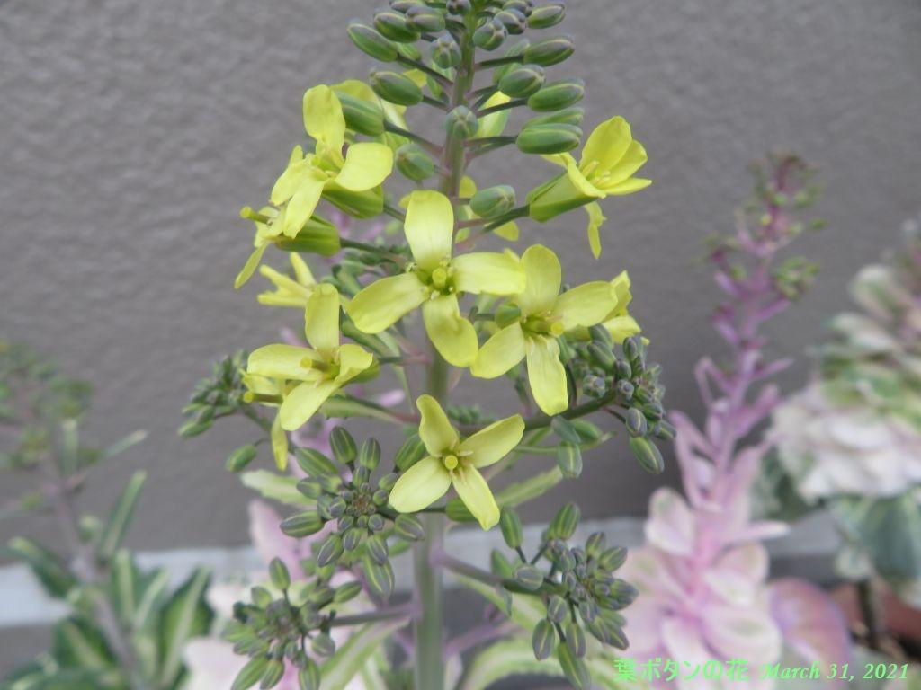 画像10(葉ボタンの花)