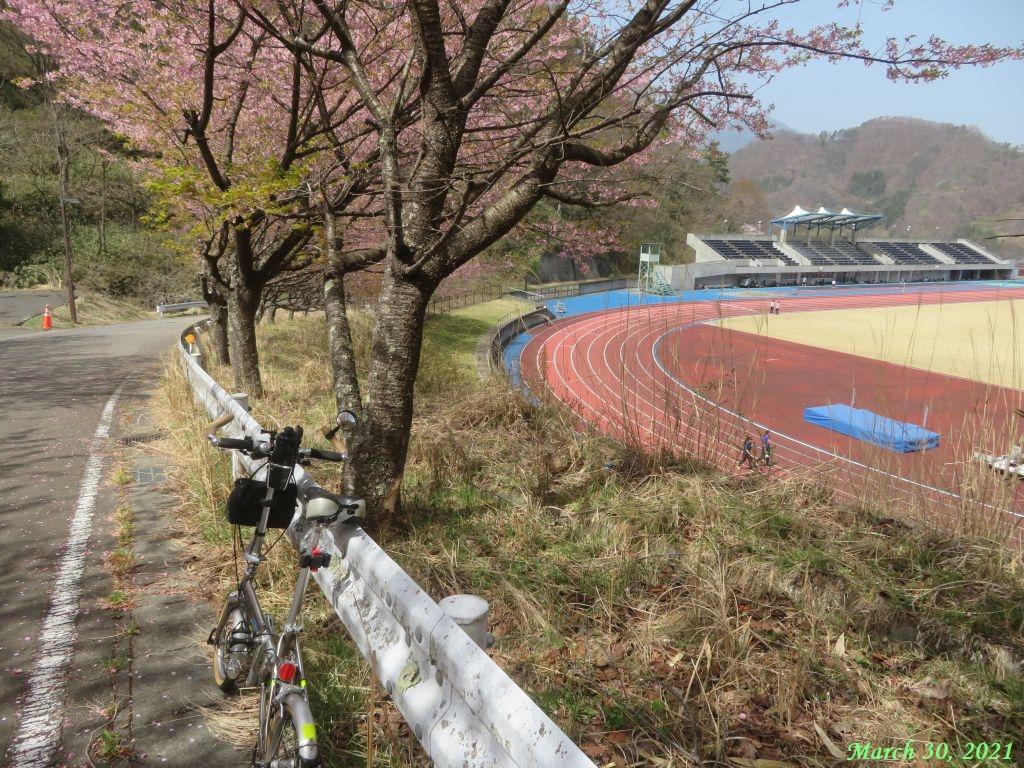 画像11(楽山グランドの桜)