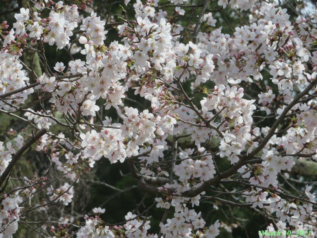 画像13(古渡の桜)