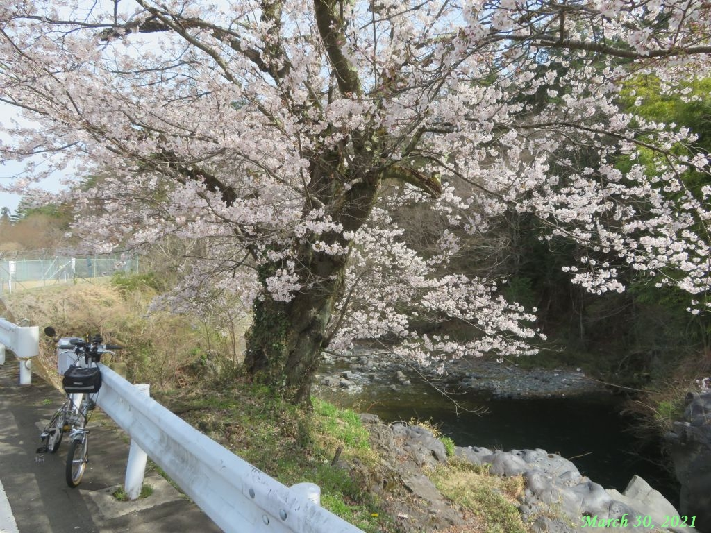 画像14(古渡の桜)