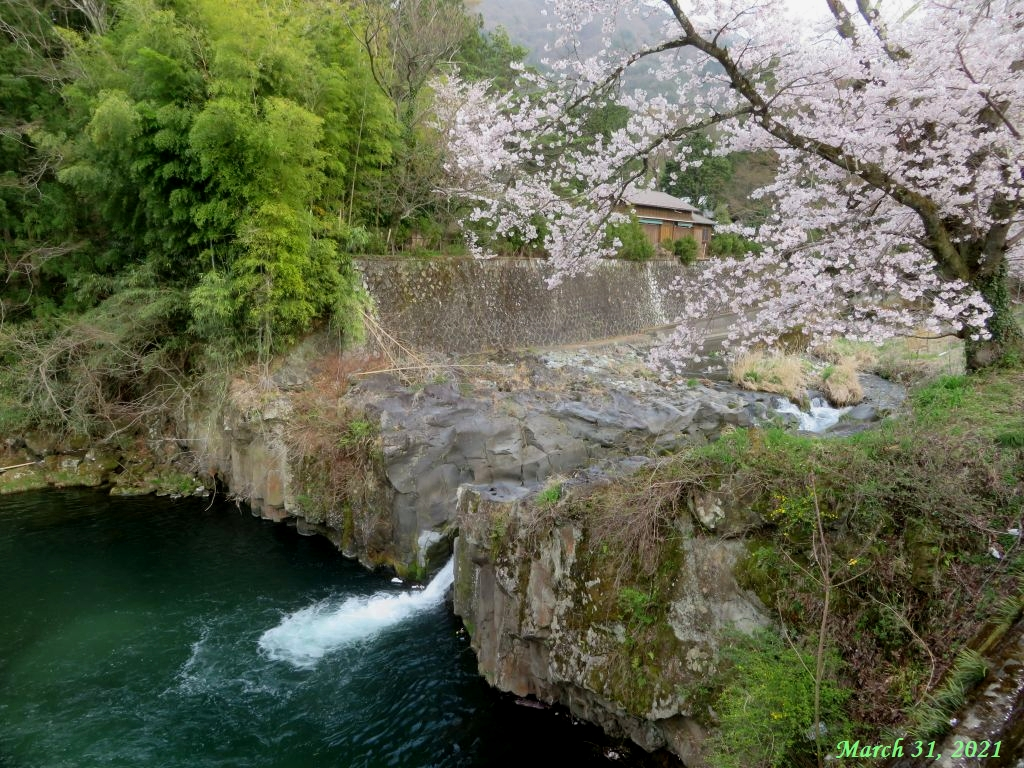 画像15(古渡の桜)