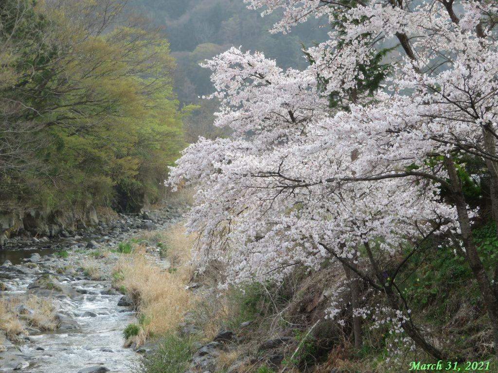 画像16(古渡の桜)