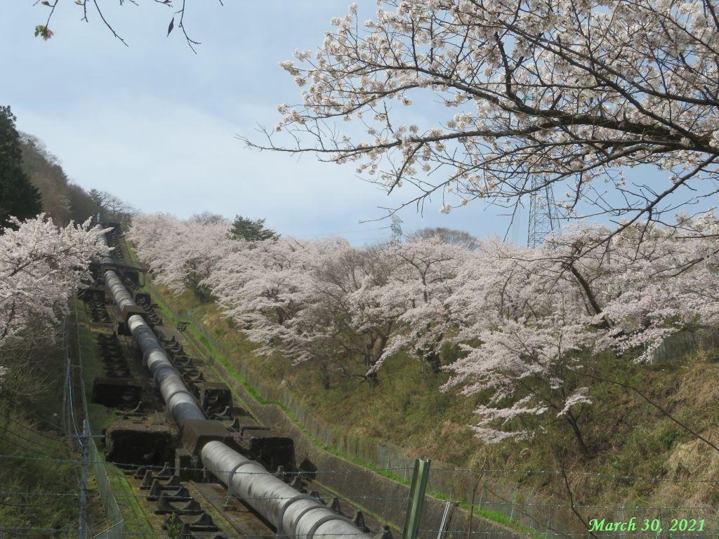 画像17(鹿留発電所の桜)
