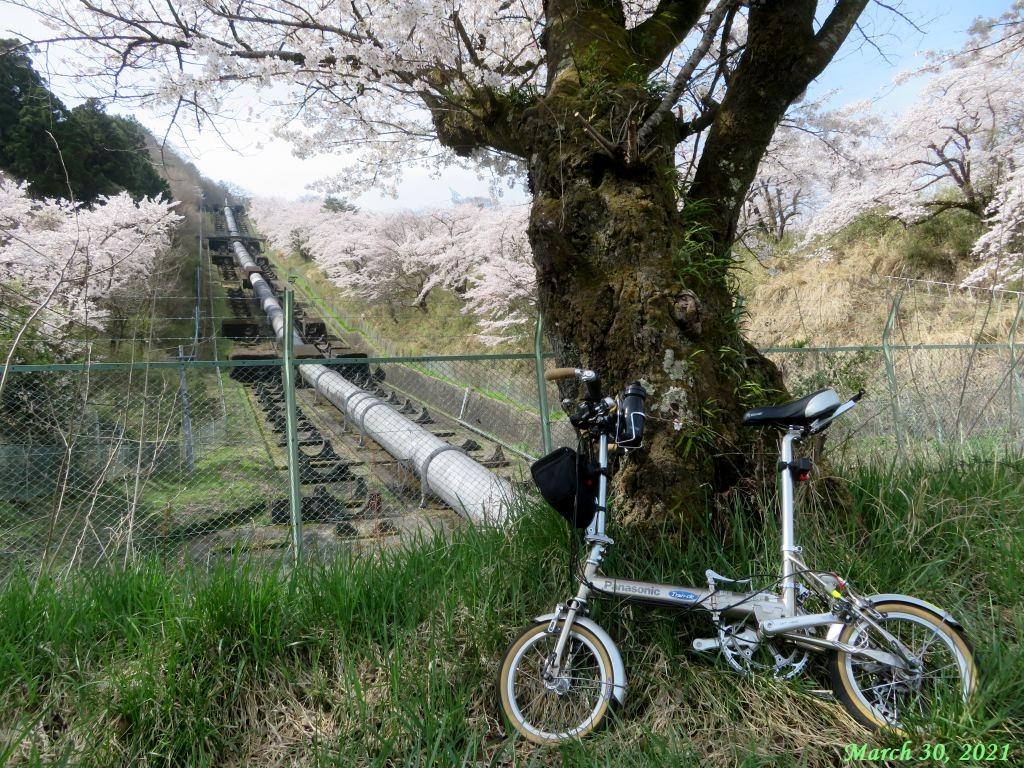 画像18(鹿留発電所の桜)