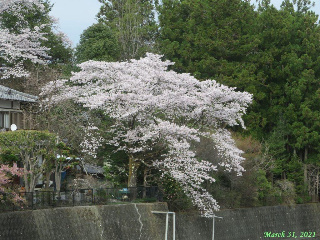画像20(桂川岸辺の桜)