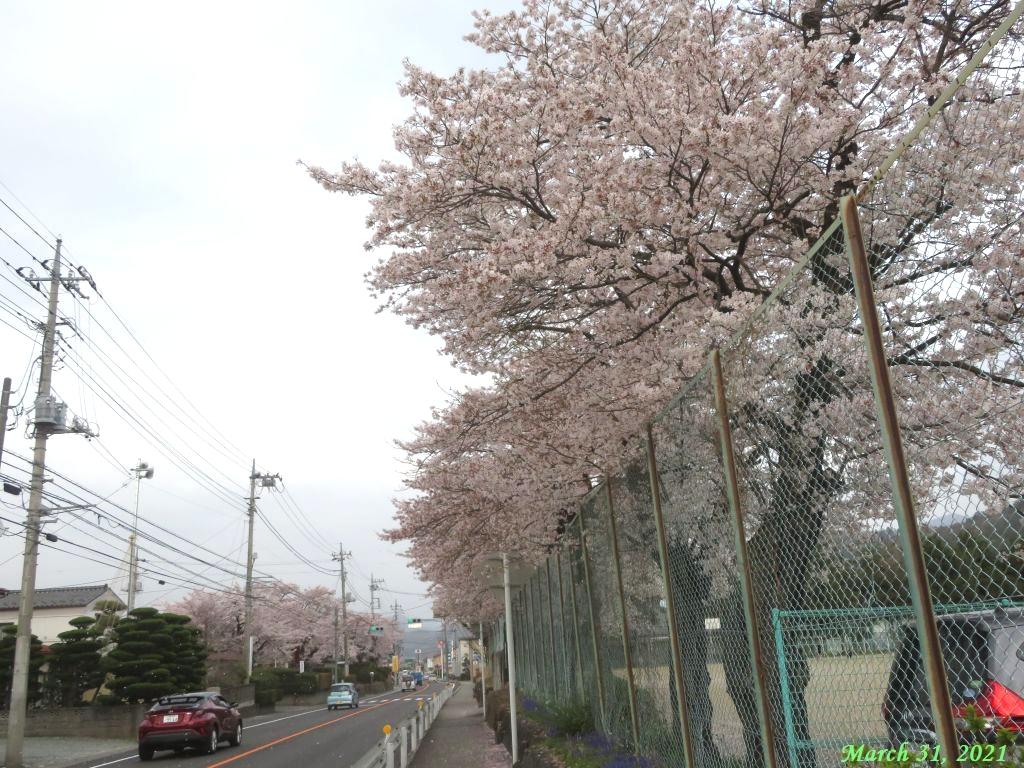 画像25(小学校前の桜)