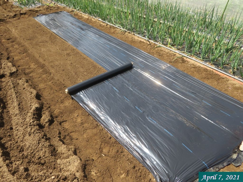 画像9(トマトの畝のマルチ敷き)