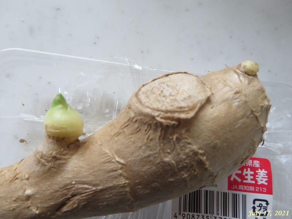 画像3(ショウガの芽)
