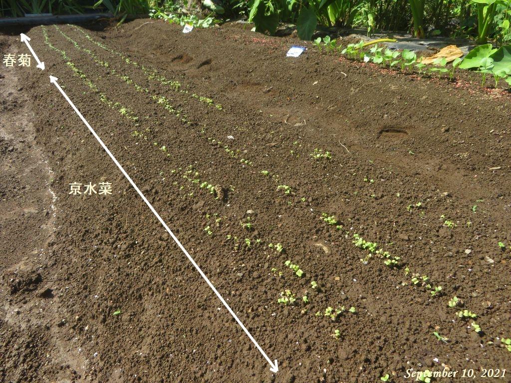 画像7(京水菜と春菊の発芽)