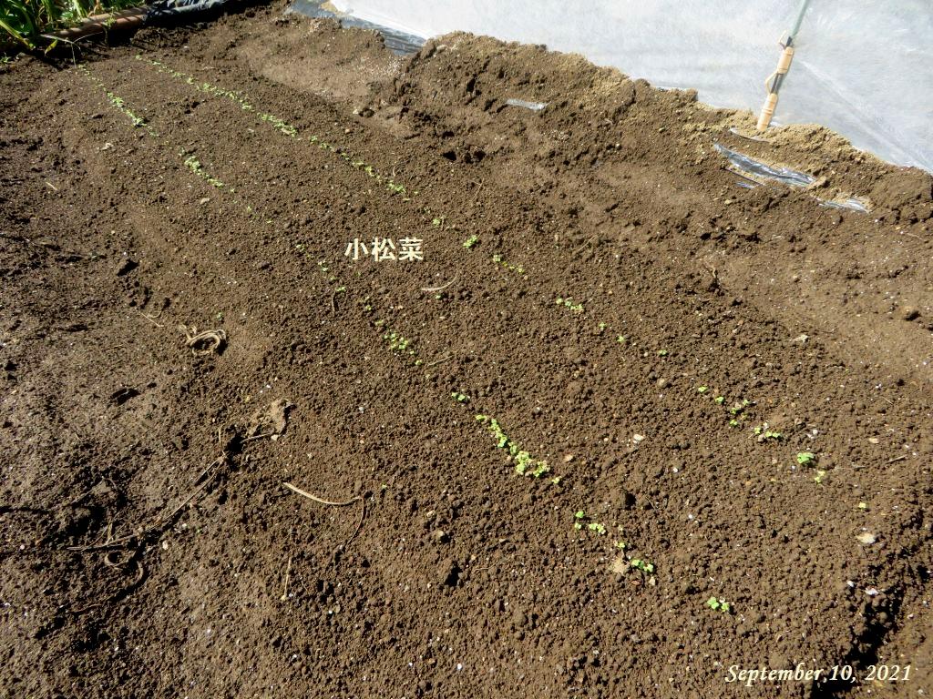 画像9(小松菜の発芽)