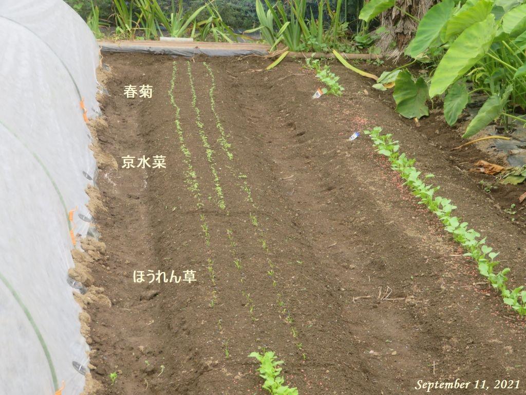 画像4(ほうれん草の発芽)