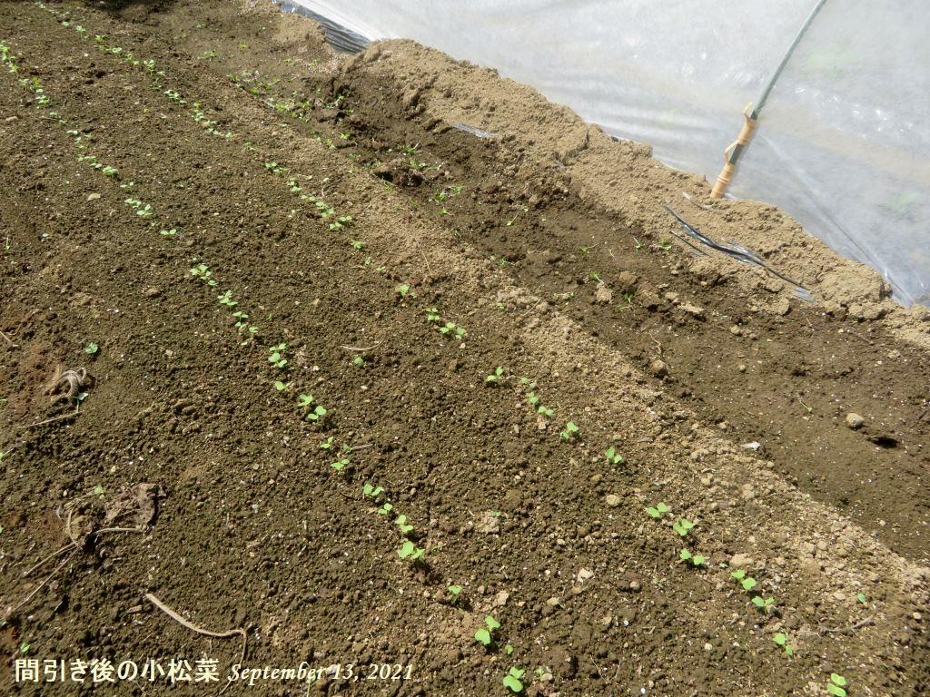 画像12(間引き後の小松菜)