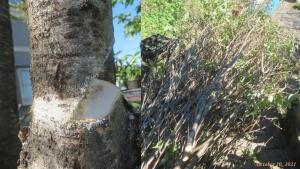 画像11(切り落としたハナモモの枝)