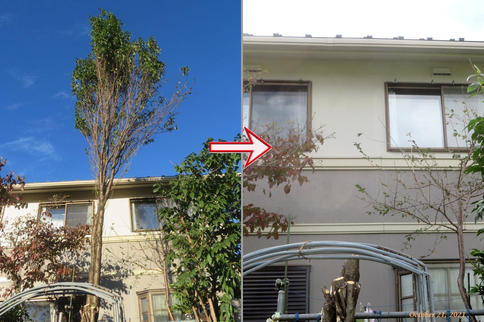 画像6(ハナモモの木の伐採)