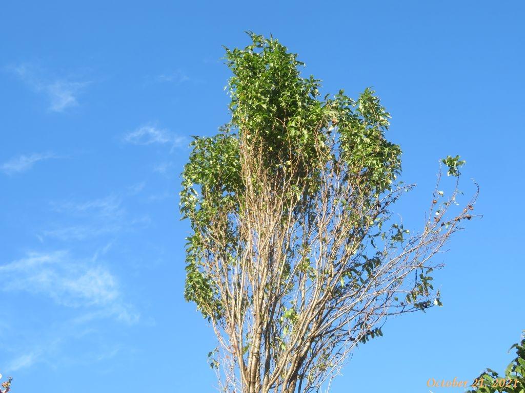 画像7(ハナモモの2本の木)